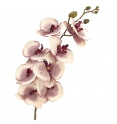 Phalenopsis