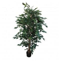 Ficus benjamin 1,50 metro