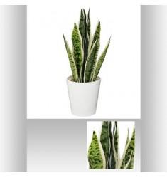 Maceta con planta de 51cm SANSEVIERA